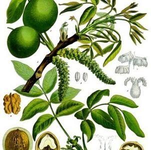 Rośliny Barwierskie we wczesnym średniowieczu